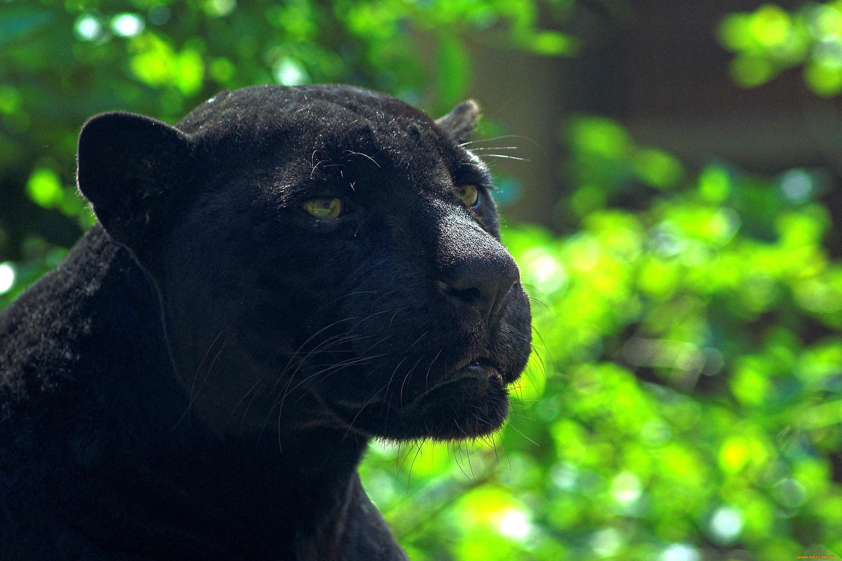 Картинки черного ягуара
